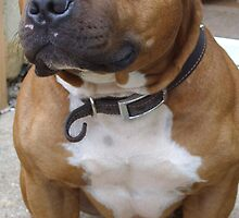 staffordshire bull terrier by terryjohn2