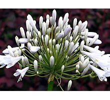 Agapanthus bloom Photographic Print