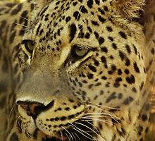 Persian Leopard. by Aussiebluey