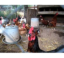 One tough... rooster! Photographic Print