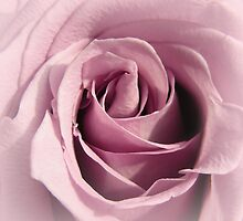 Faded Lilac Rose by Mary  Lane