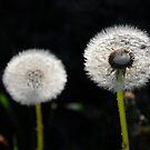 Dandelion (As is) by Karen  Betts