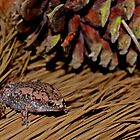 Eastern Narrow-mouthed Toad by Michael L Dye