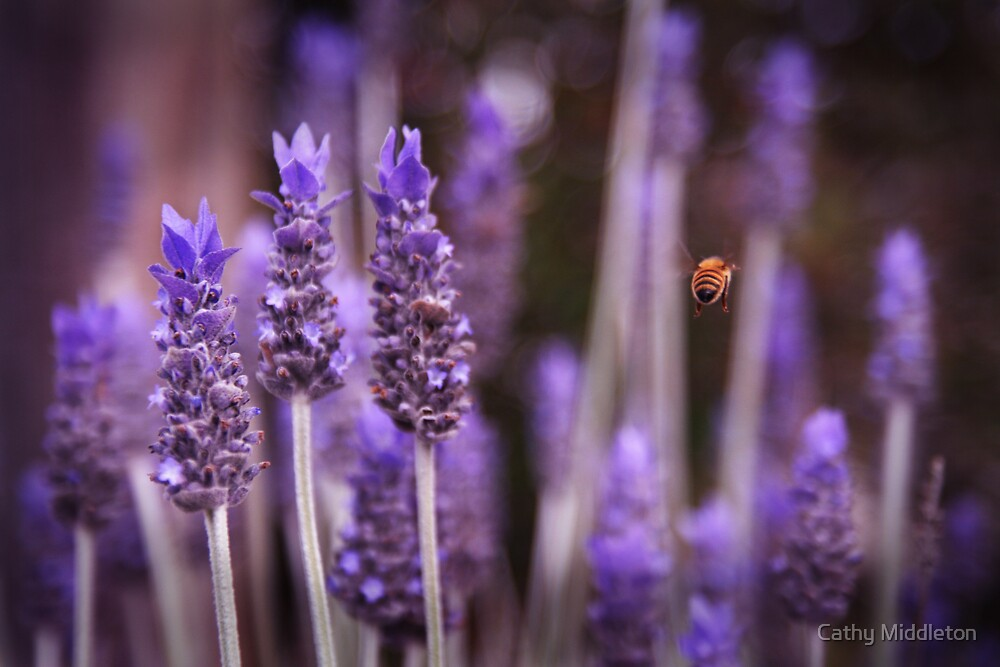 Amongst the Lavender by Cathy Middleton