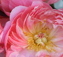 Pink peony by Karol Franks