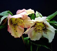 Helebores by Steven  Agius