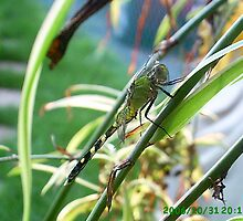 Backyard dragonfly by windrider