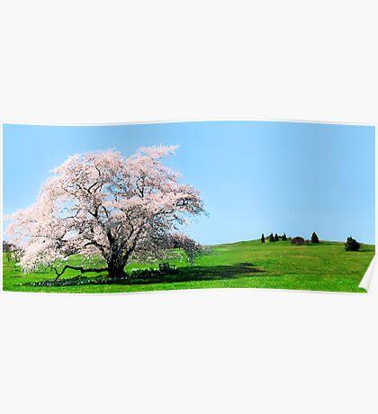 Cherry Tree Panorama Poster