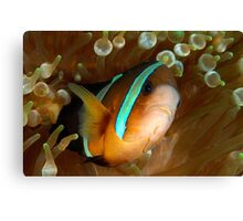 Aggresive Anemone Fish Canvas Print