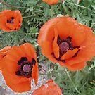 Oriental Poppies by julieburnaby