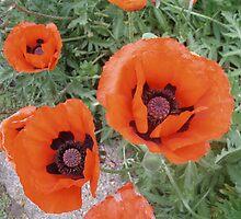 Oriental Poppies by julieburnaby