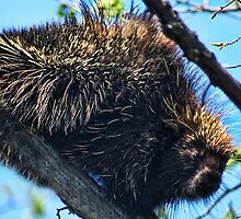 KEEP YOUR DISTANCE..I'M ARMED WITH QUILLS..PORCUPINE PICTURE AND OR CARD by ✿✿ Bonita ✿✿ ђєℓℓσ
