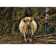 HERES LOOKIN AT YOU.The Scottish Island Cow ...ANIMAL PICTURE AND OR CARD Photographic Print