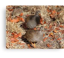 Francolin Pair, South Africa Canvas Print