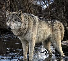 gray wolf  by yair  leibovich