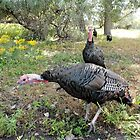 Wild Turkeys!! - Wild Nature Photography by Barberelli by Barberelli