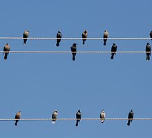 Bird on a Wire by Christine Till  @    CT-Graphics