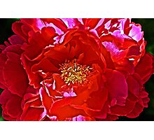 Big Red Begonia Photographic Print