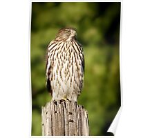 Hawk Waiting for Prey Poster