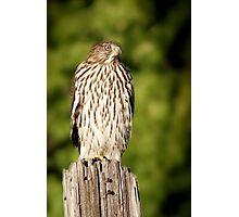 Hawk Waiting for Prey Photographic Print