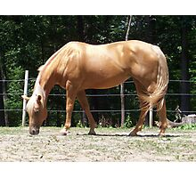 Palomino in the Sun Photographic Print