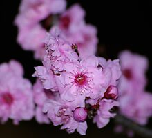 """""""Cherry Blossoms"""" by ~ Butterfly ~"""
