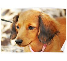 Miniature Long-Haired Dachsund Poster