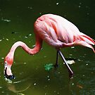 Pink Flamingo by Amber Finan