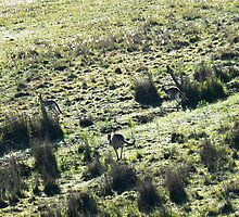 kangaroos in the morning light 02 by Ness Fitzgerald