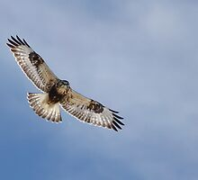 Rough-legged hawk by Jim Cumming