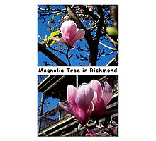 Richmond's Blooming Magnolia Trees Photographic Print
