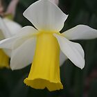 Delicate Daffodil by spencerphotos