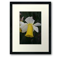 Delicate Daffodil Framed Print