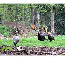 Bull Turkeys Photographic Print