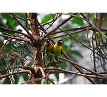 Black Masked Lovebirds Photographic Print