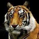 tiger by melynda galbraith-blosser