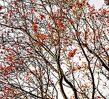 Red rowan fruits or ash berries by luckypixel