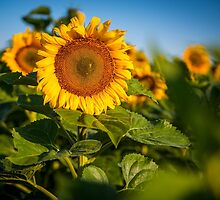 Sunflowers in North Dakota by Sam Scholes
