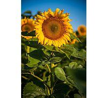 Sunflowers in North Dakota Photographic Print