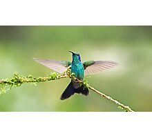 Green Violetear Hummingbird Photographic Print