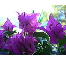 Purple Vein Photographic Print