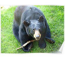 playful bear Poster