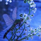 Dragonfly on Forget-Me-Not by main1