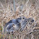Nutria Couple by Dennis Stewart