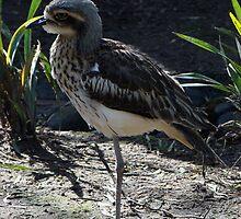 Bush Stone Curlew - Quindalup Fauna Park by Coralie Plozza