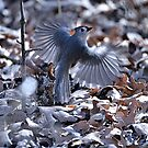 Tuffed Titmouse by Dennis Stewart