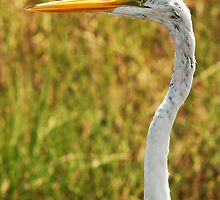Great Egret - Merritt Island, FL by Ryan Houston