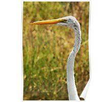 Great Egret - Merritt Island, FL Poster