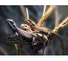 Western Bearded Dragon - Naturaliste Reptile Park Photographic Print
