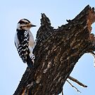Downy Woodpecker by Dennis Stewart